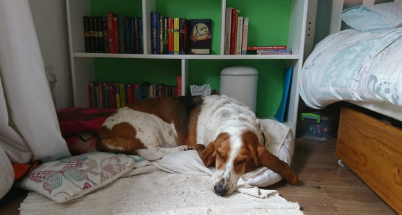 Basset Hound sleeping in front of a green and white bookshelf