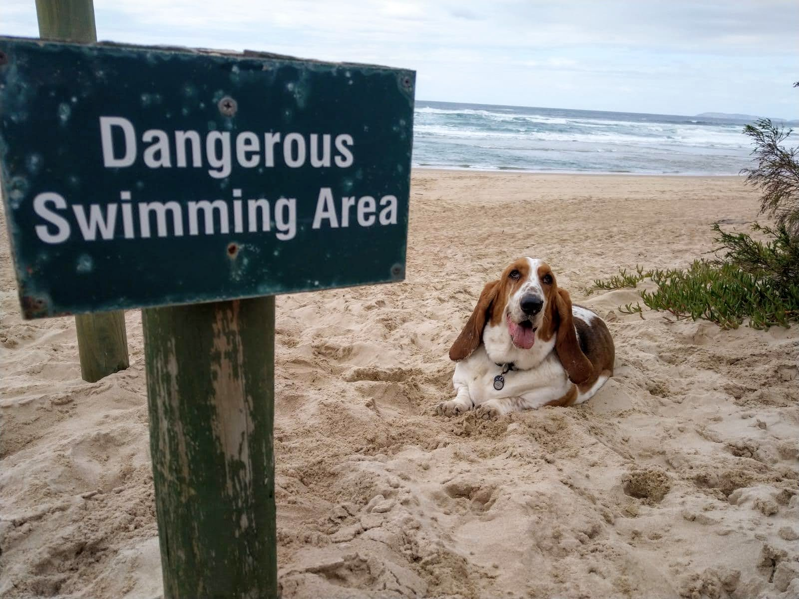 Chloë the basset hound lying next to a Dangerous Swimming sign on the beach