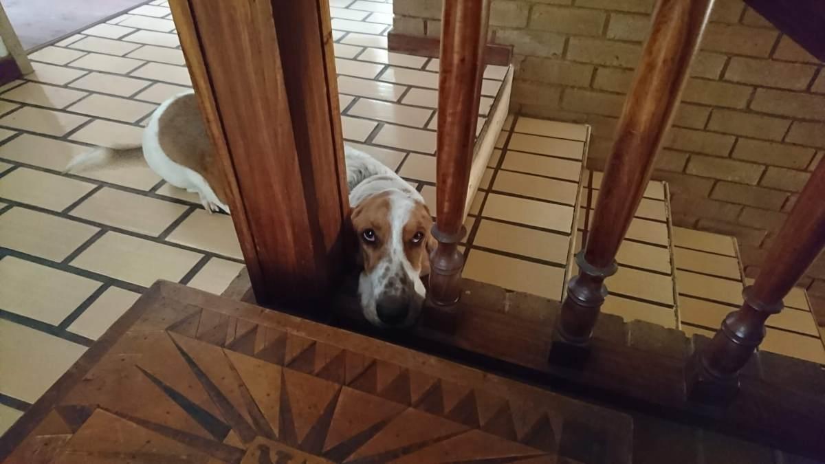 Basset hound lying next to stairs